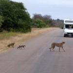 Afrikaanse katten