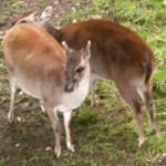 Groot Afrikaanse Antilope Overzicht