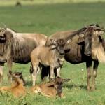 Gnoe (wildebeest)