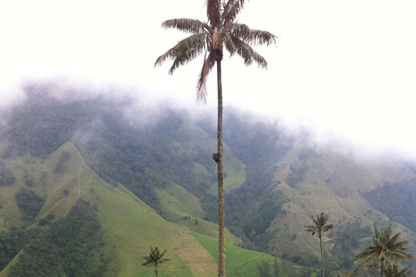 Wax palm in de Cocora Vallei