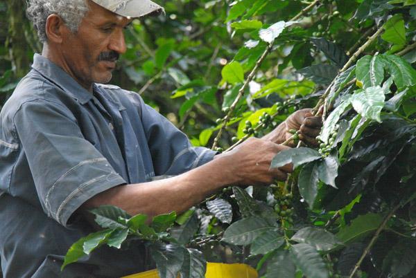 Koffie wordt geplukt in Armenia, Colombia