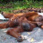 Semonggoh Wildlife Rehabilitation Centre